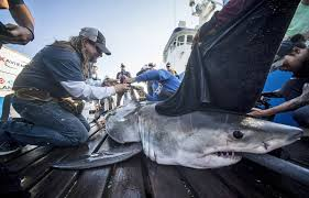 catching great white sharks off south carolina coast akin to