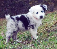 australian shepherd e gatto 39 best woof woof images on pinterest animals dogs and baby