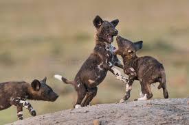 safari ltd african wild dog report from wild dogs photo safari in ol pejeta kenya imagesafaris
