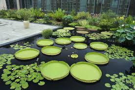 native aquatic plants the allure of the giant victoria water lily the washington post