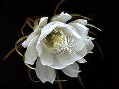 Fragrant Night Blooming Plants - queen of the night epiphyllum orchid cactus highly fragrant