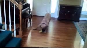 dogs sliding on wood floors 2015 hd