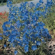 delphinium flower blue mirror delphinium flower seeds veseys