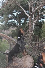 bluetick coonhound breeders ohio rocky mountain blue tick puppies rocky mountain blue ticks