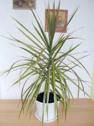 low light indoor trees best indoor trees house plant guide designing idea