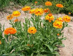 permaculture plants calendula temperate climate permaculture