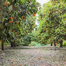 cara cara orange tree for sale fast growing trees