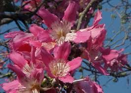 silk floss tree flowers a winter bloom flowers of india