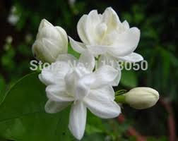 Fragrant Jasmine Plant - fragrant jasmine online fragrant jasmine plants for sale