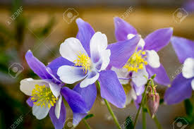 columbine flowers blue columbine flower blossoms and buds with wooden log