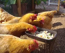 Chickens Backyard Chickens Eggs U0026 Coops Picmia