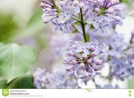 blooming lilac bush flower petals macro view soft focus shallow