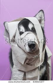 wrapped toilet paper portrait dog wrapped toilet paper stock photo 630021977