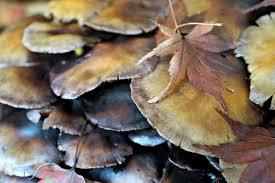 ringless honey mushrooms edible wild varieties or poisonous