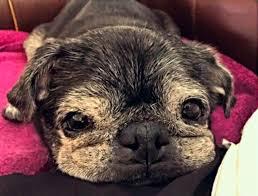 senior pug who legitimately looks like a muppet goes nuts for
