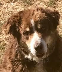 australian shepherd adoption australian shepherd dog for adoption in glendale az adn 545375