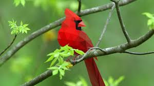 cardinal bird desktop wallpaper