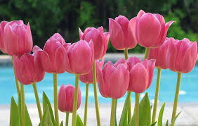 tulips flowers picture of tulips flower flowers for flower pink tulips