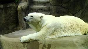 polar bear at los angeles zoo youtube