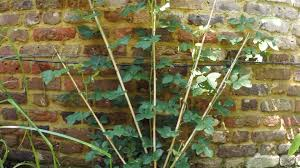 how to start tying and training a climbing rose after planting