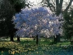best 25 flowering cherry tree ideas on cherry tree