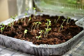 start your own lettuce seedlings in recycled plastic containers