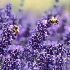 lavender flowers lavender bees n blooms