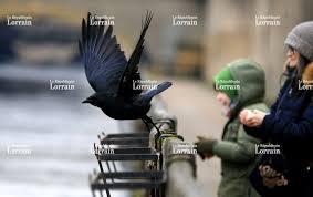 pourquoi un corbeau ressemble t il à un bureau courrier service nature comment distinguer le corbeau de la