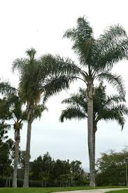 mexican fan palm growth rate the queen palm syagrus romanzoffiana