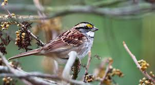 Sparrow by White Throated Sparrow The Audubon Birds U0026 Climate Change Report