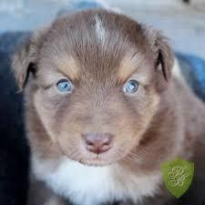 australian shepherd husky puppy 15 best australian shepherd images on pinterest aussies