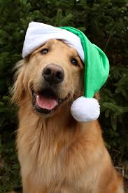 christmas golden retriever puppy holiday dogs pictures