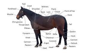 Dog Body Parts Anatomy Beginner Basics Horse Anatomy Terms Noble Life
