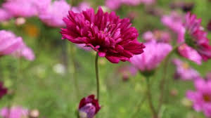 pink flower flowers plants for mobile desktop hd