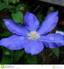 Blue Flower Vine - purple blue single clematis flower on the vine stock photo image