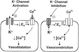 potassium channel function in vascular disease arteriosclerosis