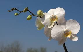 white orchids orchid