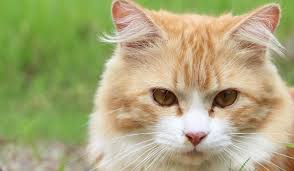 cat fleas and flea treatments for cats and kittens cat fleas