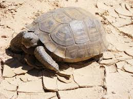mojave desert native plants desert tortoise wikipedia