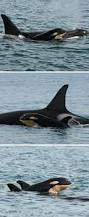 80 best wild orca southern resident orca images on pinterest