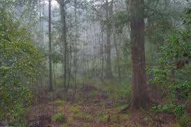 Louisiana forest images Louisiana forest search in pictures jpg