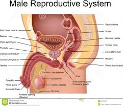 Male And Female Anatomy Human Reproductive System Male And Female Human Reproductive