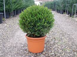 buxus sempervirens in vaso arte topiaria pistoiese buxus sempervirens palla 25 30 cm vaso