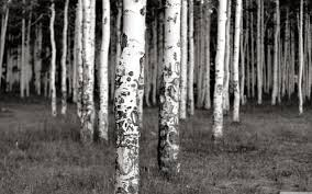 forest black birch trees white live wallpaper for android forest
