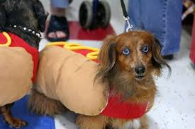 Halloween Costumes Dachshunds Adorable Animals Halloween Costumes Takepart