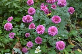 Late Blooming Perennials Plant Of The Week U002713 Bohemian Rose Designs