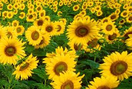 foto wallpaper bunga matahari gone walkabout the thorns of my suffering