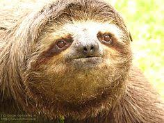 Sloth Asthma Meme - ninjar sloths oh noes sloth