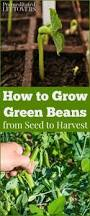 how to grow green beans in your garden from seed to harvest