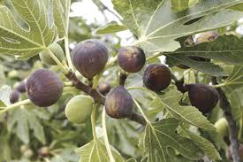 Fig Flower - lockerly fun facts about figs columns unionrecorder com